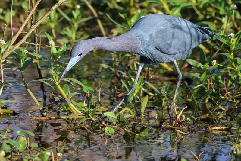 Florida gray Ibis.