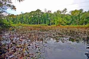 Water plants choking waterway in Florida, impeding healthy water flow.  Including the water hyacinth, for over a hundred and fifty years water plants have invaded healthy watercourses, impeded transportation and disrupted healthy water flows and exchanges of nutrients, eventually smothering the watercourses invaded.
